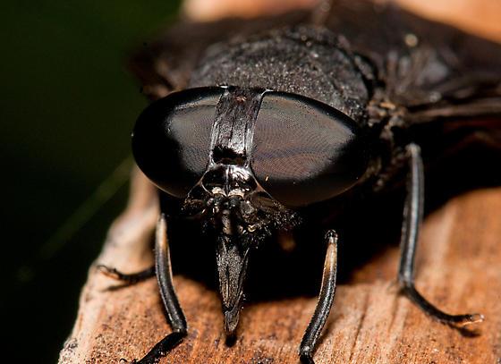 Black Horsefly - Tabanus atratus - female