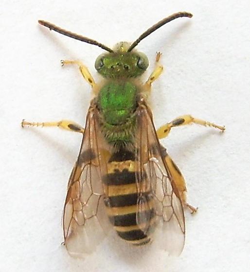 Green Agapostemon Bee - Agapostemon - male