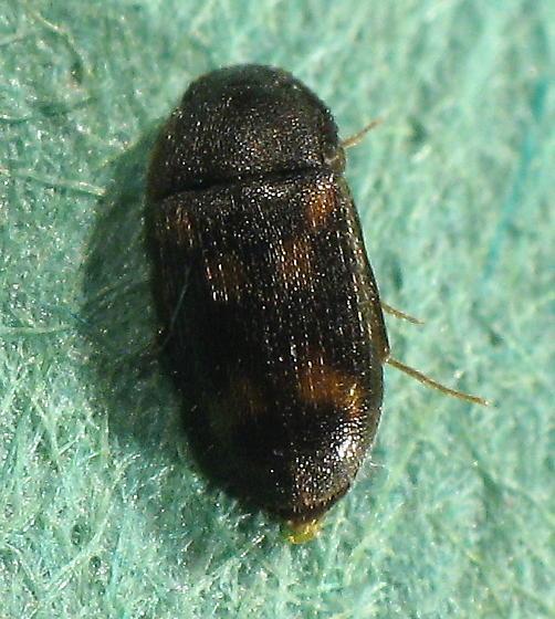 small spotted beetle - Litargus sexpunctatus