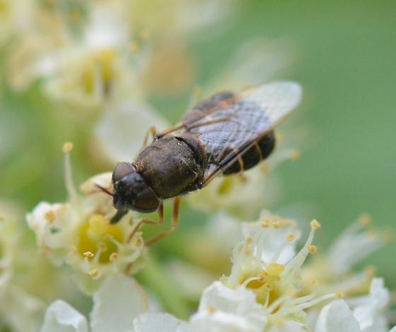 Odontomyia sp. ? - Odontomyia