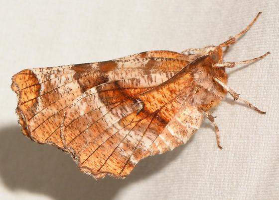 moth050518a - Selenia kentaria - male