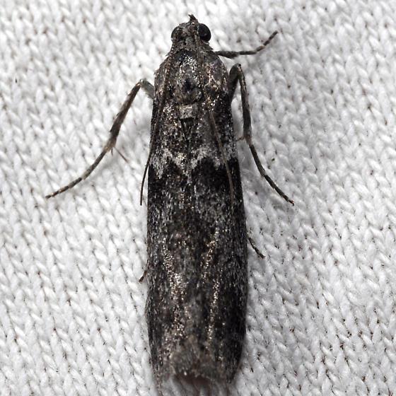 Unknown moth - Myelopsis subtetricella