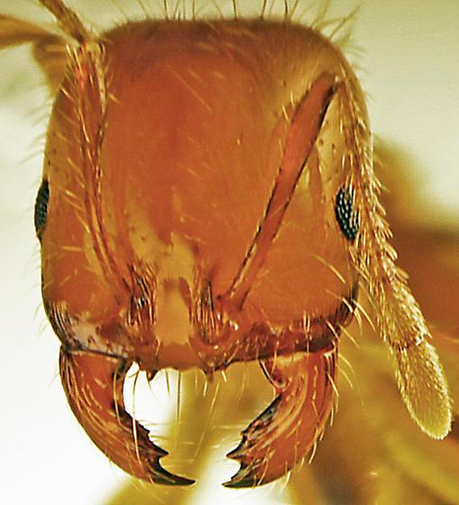 S. xyloni, major worker - Solenopsis xyloni