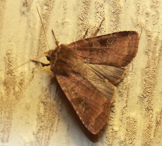 Moth ID - Diarsia rosaria