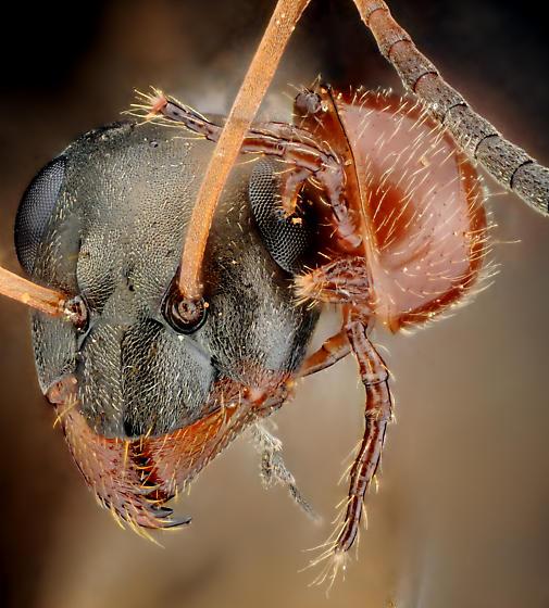 Mite on ant 2 - Antennophorus - female