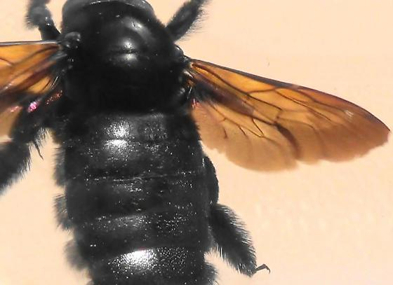 Mrs. Neoxylocopa (dorsal sunlit) - Xylocopa varipuncta - female