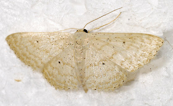 Scopula umbilicata - Scopula benitaria
