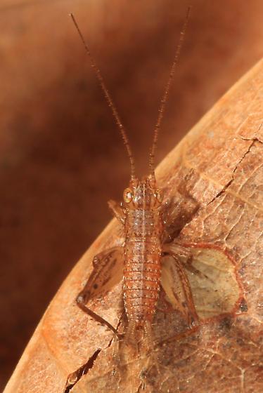 tiny cricket nymph - Falcicula hebardi