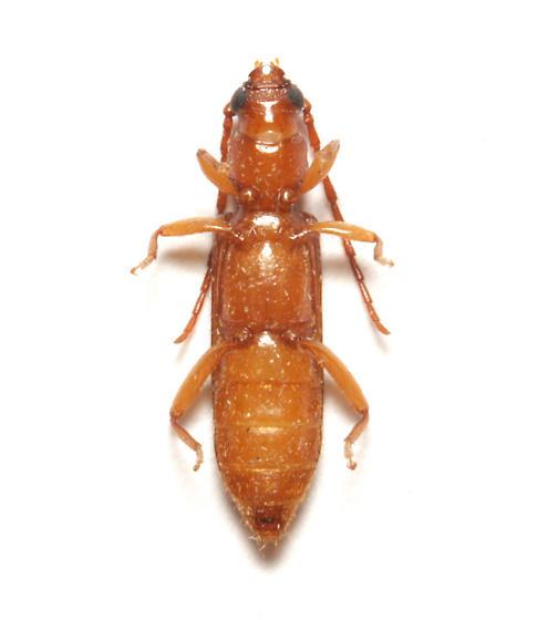 Cerambycidae, Flat Oak Borer, ventral - Smodicum cucujiforme