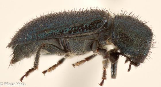 Bostrichidae? - Necrobia violacea