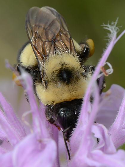 Large Bumble Bee - Bombus affinis - female