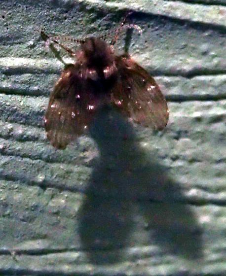Filter fly - Clogmia albipunctata