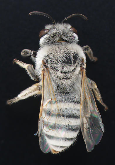 Colletidae, Beauty Bee, dorsal - Colletes - female