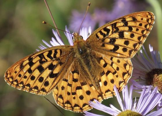 Fritillary Butterfly - Speyeria