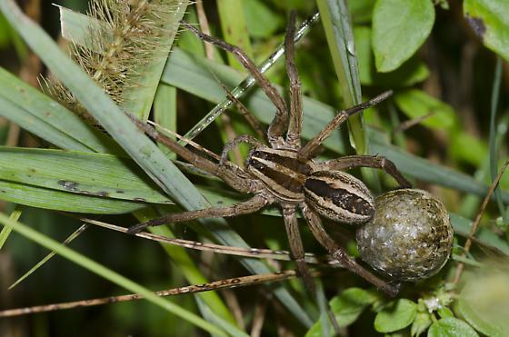 Rabid Wolf Spider with Egg Case - Rabidosa rabida - female
