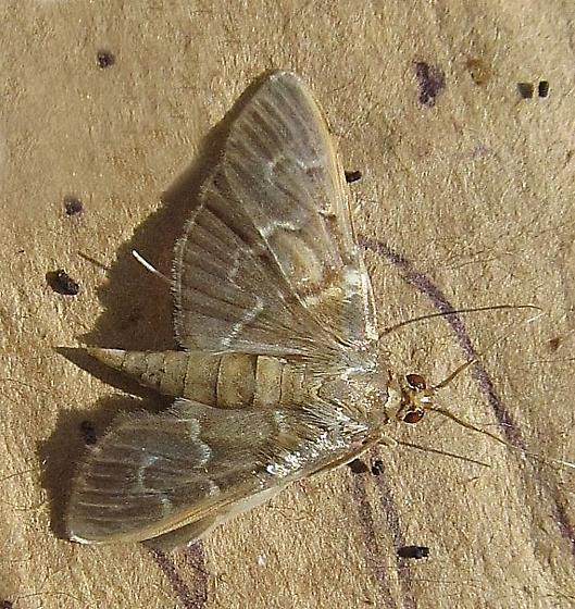 Crambidae, Pilocrocis - Pilocrocis ramentalis