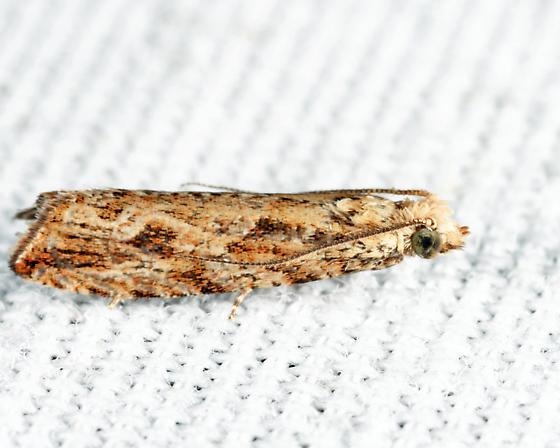 Bactra furfurana