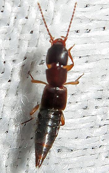 Unidentified Rove Beetle - Achenomorphus corticinus
