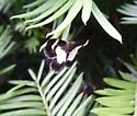 Black-and-White butterfly/moth - Heliomata cycladata