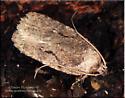 Moth sp - Agonopterix curvilineella