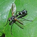 Cordyligaster septentrionalis