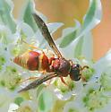 Euodynerus sp. ? - Euodynerus annulatus - female