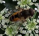 Eristalis - Eristalis arbustorum