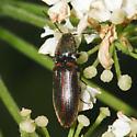 Reddish-black Click Beetle - Athous