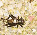 2018-08-15 Brown cricket - Allonemobius - male