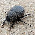 unkn beetle - Phyllophaga cribrosa