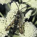 Clearwing - Synanthedon exitiosa