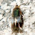 Moth, micro, Nepticuloidea - Stigmella multispicata
