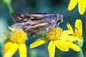 Drab-colored skipper - Hylephila phyleus