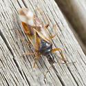 True Bug Maybe ? - Anthocoris