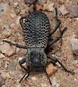 Death-feigning Beetle? - Cryptoglossa variolosa