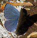 Pacific Azure - Celastrina echo - male