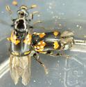 Mites in flight on Nicrophorus orbicollis - Nicrophorus orbicollis