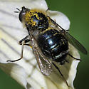 Small-headed Fly - Eulonchus