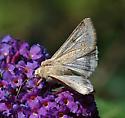 Corn Earworm Moth - Helicoverpa zea