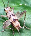 Cricket - Anaxipha