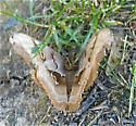 What moth please? - Antheraea polyphemus
