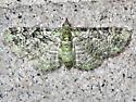 Green Pug - Hodges#7625 - Pasiphila rectangulata