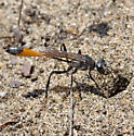 Another Ammophila - Ammophila