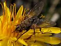 Parasitic Fly - Family: Tachinidae