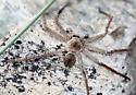 Crab spider or maybe Huntsman Spider - Olios giganteus - male