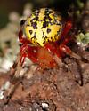Marbled Orbweaver - Araneus marmoreus - female
