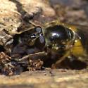 Syphrid Fly - Blera badia - female