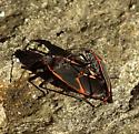 bug - Boisea trivittata - male - female