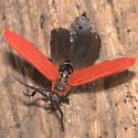 Golden Net-wing - Dictyoptera aurora