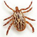 Amblyomma maculatum Koch - Amblyomma maculatum - male